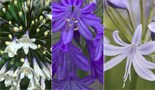 The RHS Agapanthus Collection